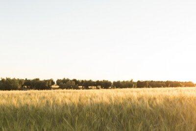 Fototapeta Żółte pole pszenicy o zachodzie słońca. lato