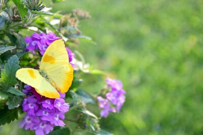 Fototapeta Żółty motyl na purpurowe kwiaty tle