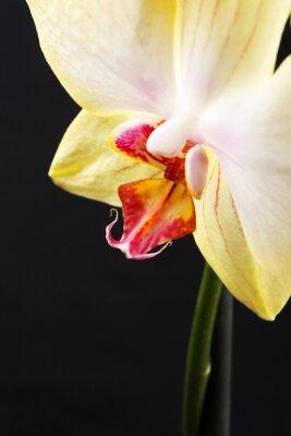 Fototapeta żółty storczyk