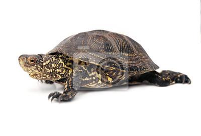 Fototapeta Żółw błotny nad białym