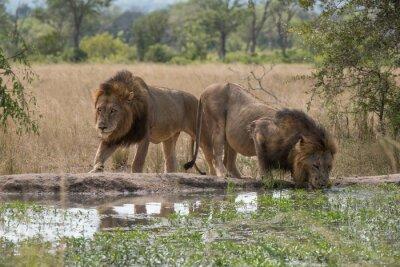 Fototapeta zwei Löwenbrüder jestem Wasserloch