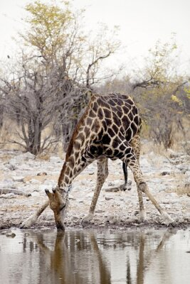 Fototapeta Żyrafa, Giraffa Żyrafy w Parku Narodowym Etosha w Namibii