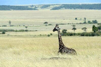 Fototapeta Żyrafa na sawannie