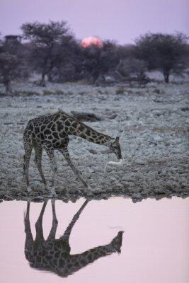 Fototapeta Żyrafa w wodopoju Okaukuejo.