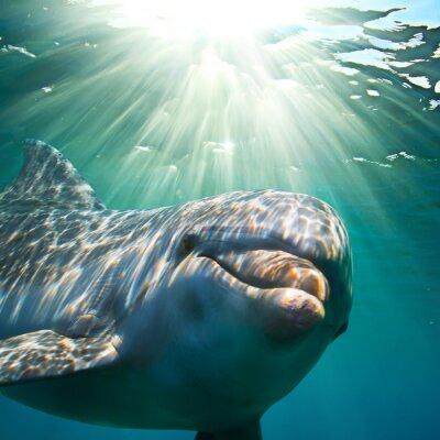 Naklejka A dolphin underwater with sunbeams. Closeup portrait