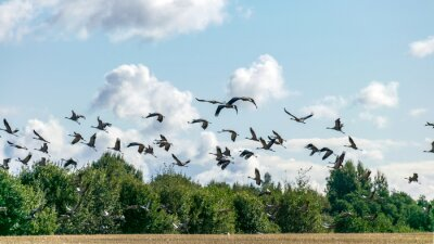 Naklejka a flock of flying cranes over the tops of trees, migration of birds in spring and autumn