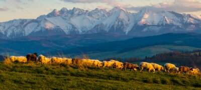 Naklejka A flock of sheep grazing on a mountain meadow against the backdrop of peaks at sunset Pieniny, Poland