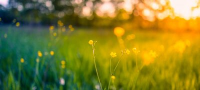 Naklejka Abstract soft focus sunset field landscape of yellow flowers and grass meadow warm golden hour sunset sunrise time. Tranquil spring summer nature closeup and blurred forest background. Idyllic nature