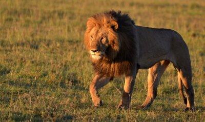 Naklejka African Lion