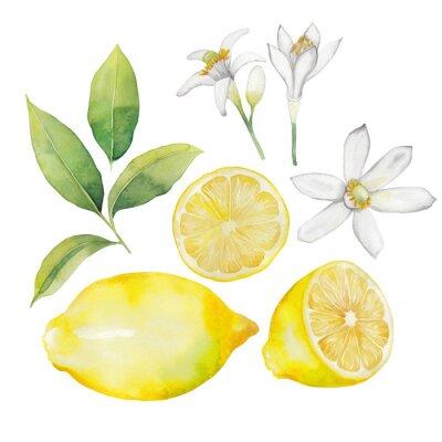 Naklejka Akwarela cytryny kolekcji