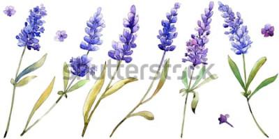 Naklejka Akwarela fioletowe kwiaty lawendy. Kwiatowy kwiat botaniczny. Element na białym tle ilustracja. Aquarelle wildflower na tle, tekstury, wzór otoki, ramki lub ramki.