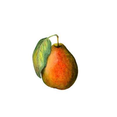Naklejka Akwarela gruszki
