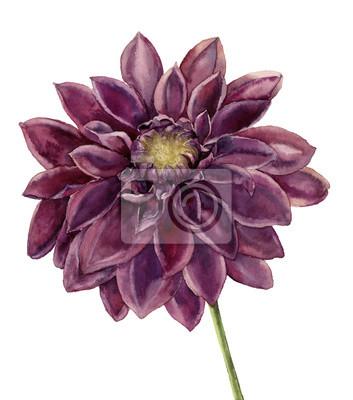 Akwarela kwiat dalia. Ręcznie malowane jesień kwiatowy ilustracji samodzielnie na białym tle. Ilustracje z roślinami do projektowania