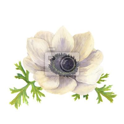 Akwarela zawilec kwiat z leaves.Hand rysowane kwiatów ilustracji z białym tłem. ilustracje z roślinami
