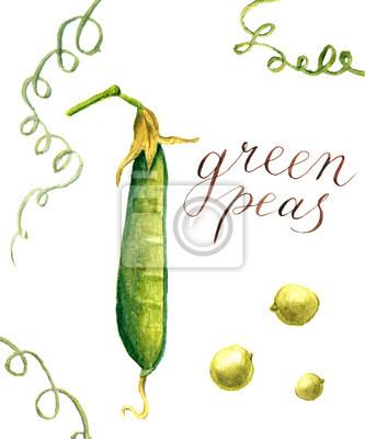 Akwarele zielony groszek. Botaniczna odizolowane ilustracji
