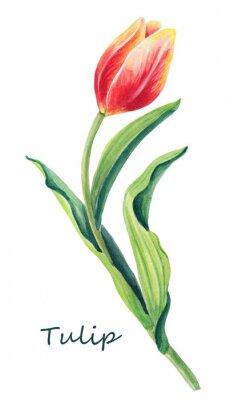 Naklejka Akwareli kwiecista ilustracja piękny jeden tulipan na białym tle. Śliczny kartka z pozdrowieniami Wiosny czerwień, kolor żółty, pomarańczowy kwiat i zieleń liście, Kartka z pozdrowieniami dla kobiety