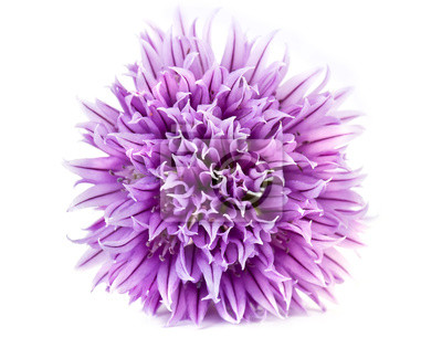 Naklejka Allium fistulosum lub walijski cebula, lub japoński zbijanie cebula, o