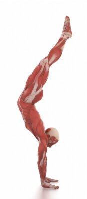 Naklejka Anatomia map bieli samodzielnie mięśni - rozgrzać pozy