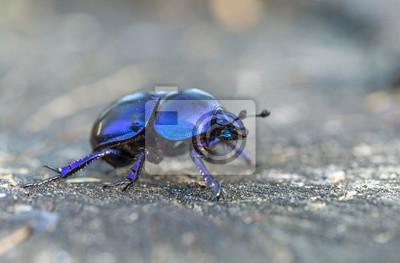 Naklejka Anoplotrupes stercorosus bug in summer forest, selective focus. Beautiful beetle Anoplotrupes stercorosus. Anoplotrupes stercorosus, known as dor beetle, a species of earth-boring dung beetles.
