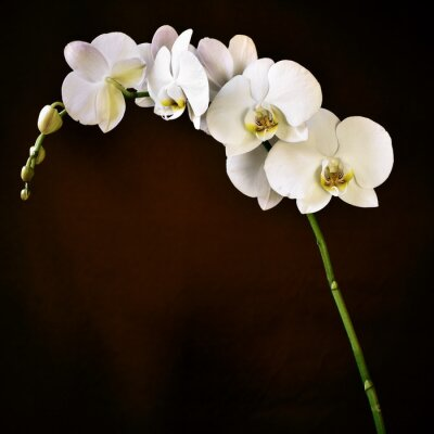 Naklejka Aphrodite Phalaenopsis Orchidea