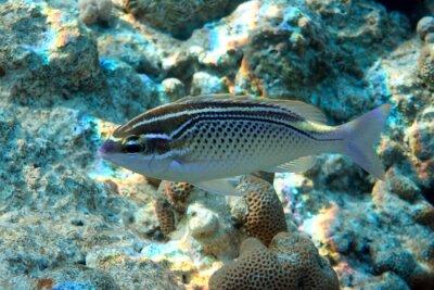 Naklejka Arabian spinecheek fish - Scolopsis ghanam , Red sea