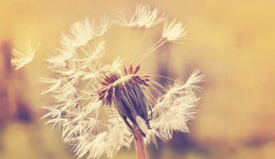 Naklejka Autumn dandelion close up