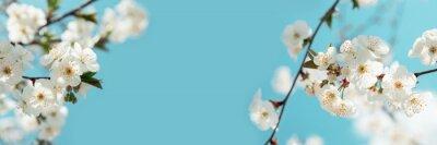 Naklejka Banner 3:1. White cherry blossom sakura in spring time against blue sky. Nature background. Soft focus