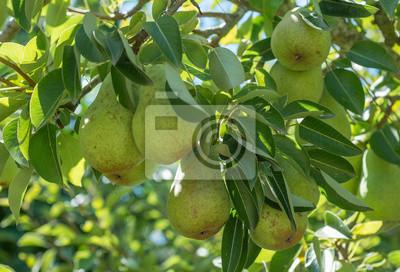 Naklejka Bartlett gruszki na drzewie