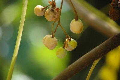 Beautiful background. ripening cherries