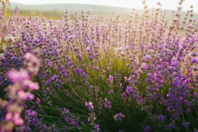 Naklejka Beautiful lavender field