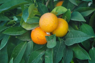 Beautiful Oranges on the tree