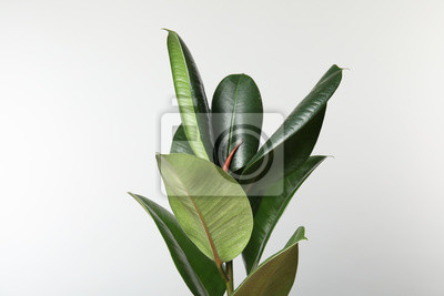Naklejka Beautiful rubber plant on white background. Home decor