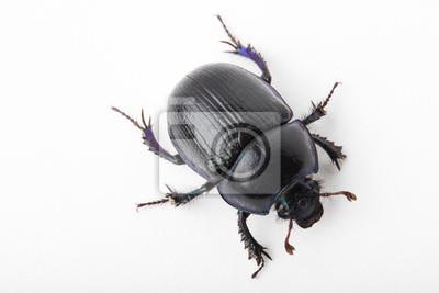 Naklejka Beetle dung macro white background