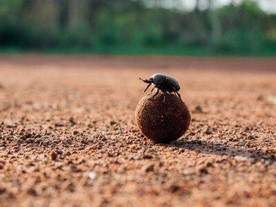 Naklejka Beetle rolling dung