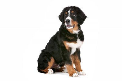 Naklejka Berneński pies pasterski szczeniak