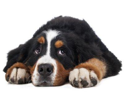 Naklejka Berner Sennenhund na białym tle w studio, smutny pies