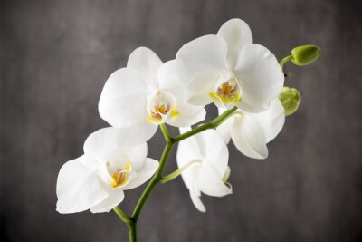 Naklejka Biała orchidea na szarym tle.