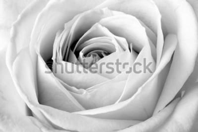 Naklejka Biała Róża, czarno-białe makro