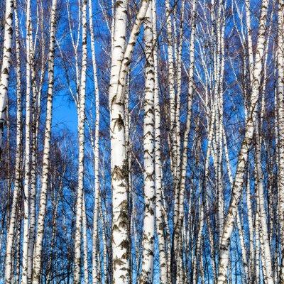 Naklejka białe pnie brzozy i błękitne niebo