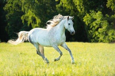 Naklejka Biały koń arabski działa galop w świetle słońca