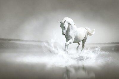 Biały koń biegnie przez wody