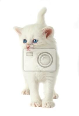 biały kotek z niebieskimi oczami .