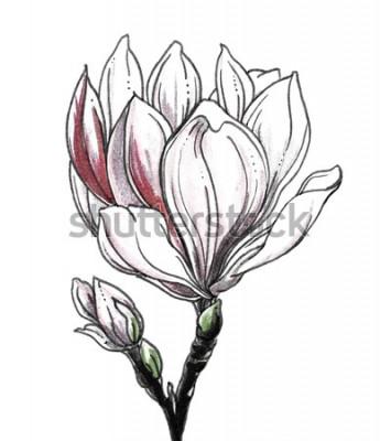Naklejka Biały magnoliowy tropikalny kwiatu okwitnięcie na białym tle. Ręcznie rysowane akwarela botaniczny czarno-biały ilustracja monochromatyczne do druku ślubnego, karty, zaproszenia. Styl japoński. Retro,
