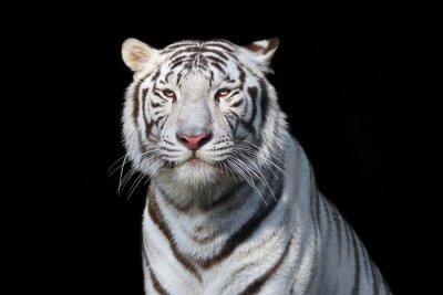 Naklejka Biały Tygrys bengalski na czarnym tle. Najgroźniejszym zwierzęciem pokazuje jego spokój wielkość. Dzikie piękno ciężką wielkiego kota.
