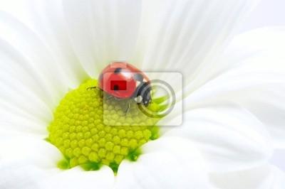 biedronka na kwiat