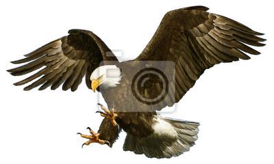 Naklejka Bielik amerykański atak runąć ręcznie rysować i malować na białym tle ilustracji wektorowych.