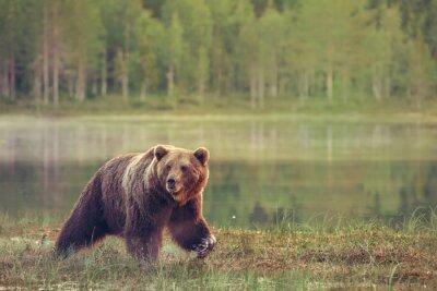 Naklejka Big mężczyzna niedźwiedź spaceru w bagnie na zachodzie słońca