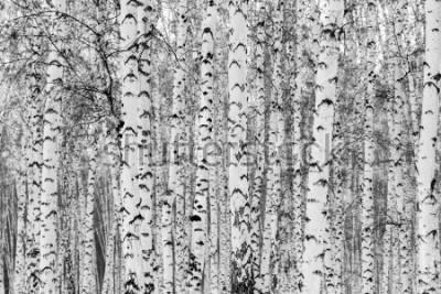 Naklejka Birch forest winter landscape, black and white photo
