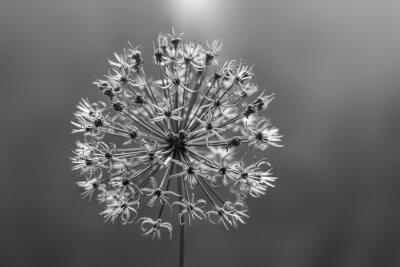 Naklejka Black and white flower Allium fistulosum or Welsh onion