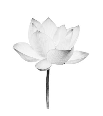 Naklejka Black and white Lotus flower isolated on white background. File contains with clipping path so easy to work.